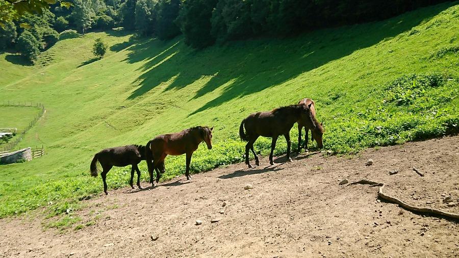 Cavallini della Giara - cavalli selvaggi che vivono allo stato brado in Sardegna poco inclini al contatto con l'uomo